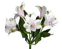 Alstroemeria (Альстрёмерия)
